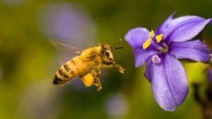 abeja libando en flor azulada