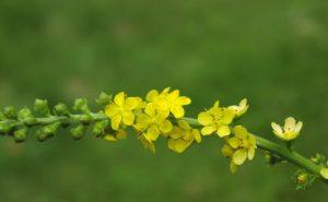 Flor de Agrimony utilizada en el sisema floral de Bach