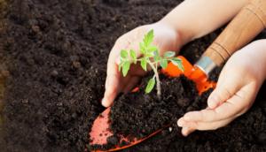 dos manos trasplantan planta tomatera