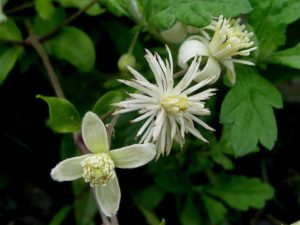Flor de Clematis