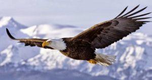 águila real con alas extendidas y montañas nevadas de fondo